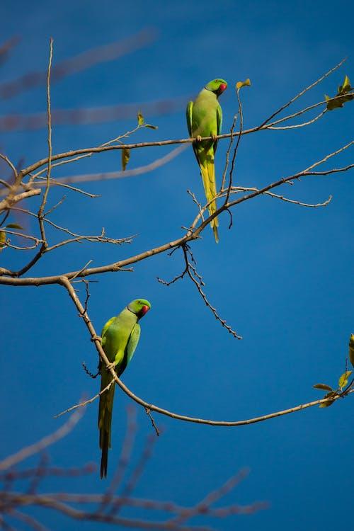 Ilmainen kuvapankkikuva tunnisteilla papukaija, papukaijat, vihreä papukaija