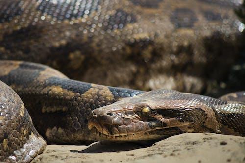 Ilmainen kuvapankkikuva tunnisteilla käärme, python