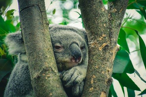Fotobanka sbezplatnými fotkami na tému divočina, koala, rozkošný, roztomilý