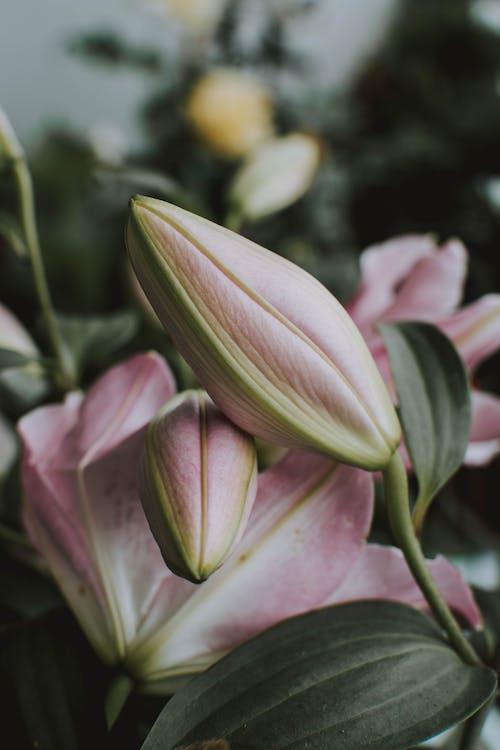 ゆり, ピンクの花, フラワーズ