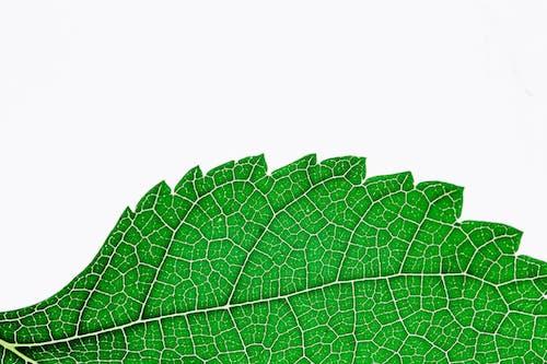Green Serrated Edge Plant Leaf