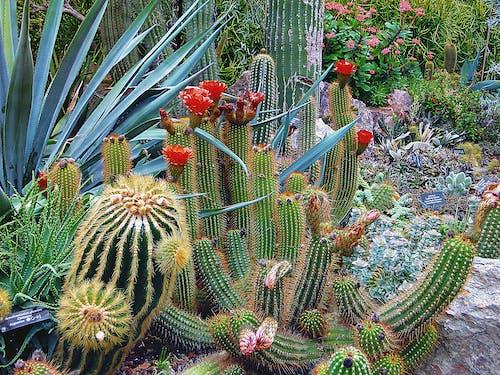 Darmowe zdjęcie z galerii z botaniczny, egzotyczny, flora, kaktus