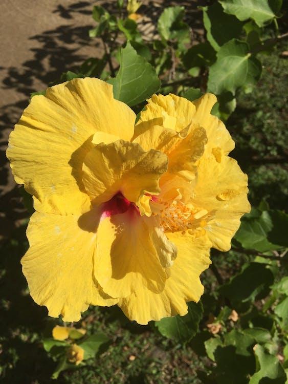 Гібіскус, жовта квітка, прекрасна квітка