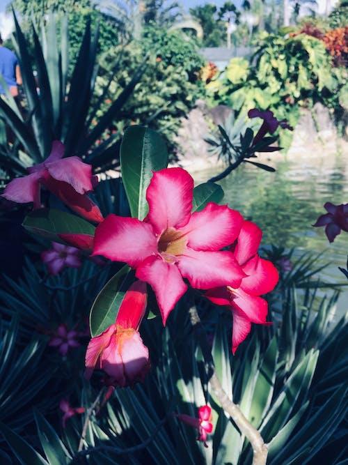 Безкоштовне стокове фото на тему «рожева квітка»