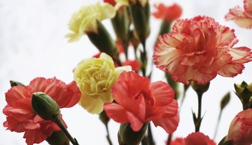 Immagine gratuita di fiori, fiori di garofano, flora, floreale