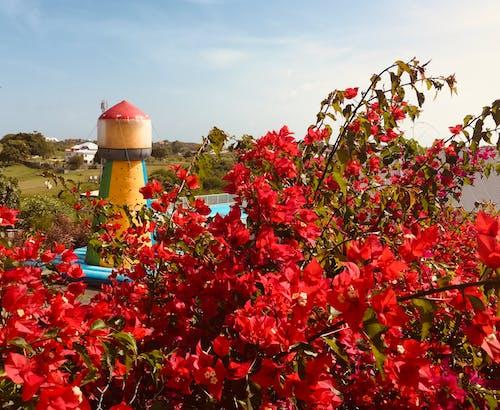 Ilmainen kuvapankkikuva tunnisteilla ihmeköynnöksiä, kukkiva puutarha