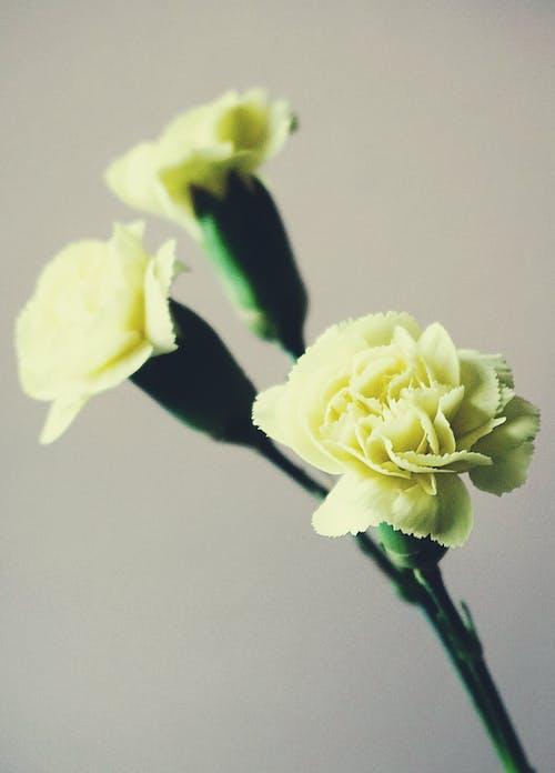 Foto d'estoc gratuïta de flor, flora, flors, flors de clavell