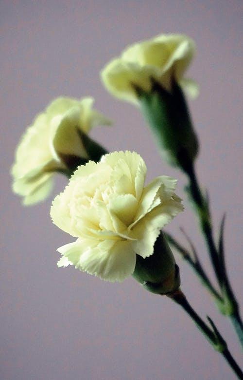 Immagine gratuita di fiori, fiori di garofano, fiori gialli, flora