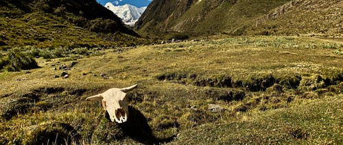 Free stock photo of andes, cow, cow skull, mountain