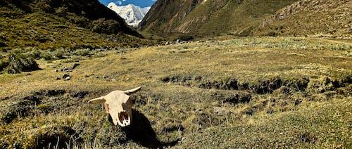 アンデス, ペルー, 山, 牛の無料の写真素材