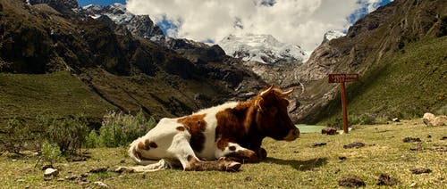 Free stock photo of alpine, andes, beautiful landscape, cow