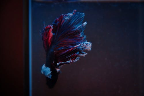 Blue and Red Fish Close-up Photography