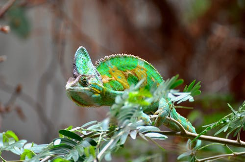 Green Chameleon Focus Photography