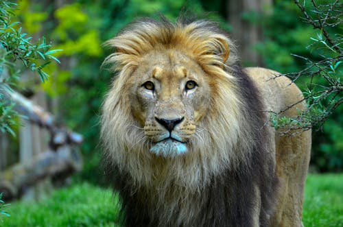 Close-Up Photography of a Lion