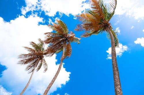 椰子樹, 藍天, 雲, 高大的樹木 的 免費圖庫相片
