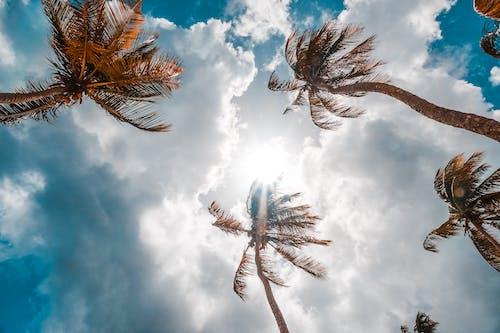 椰子樹, 樹木, 藍天, 陽光 的 免費圖庫相片