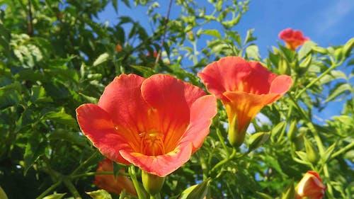 Photos gratuites de campsis grandiflora