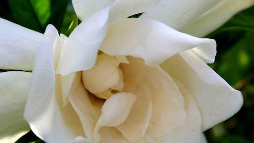 Gratis stockfoto met gardenia