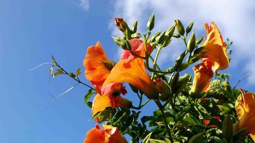 Бесплатное стоковое фото с campsis grandiflora