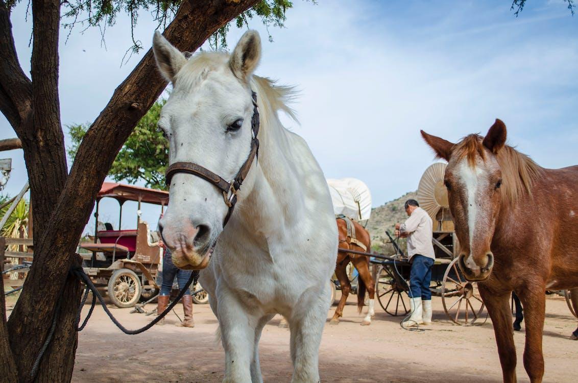 caballo, caballo blanco, caballo mesteño