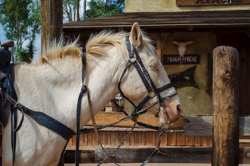Free stock photo of horse, white horse