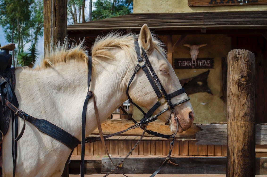 caballo, caballo blanco