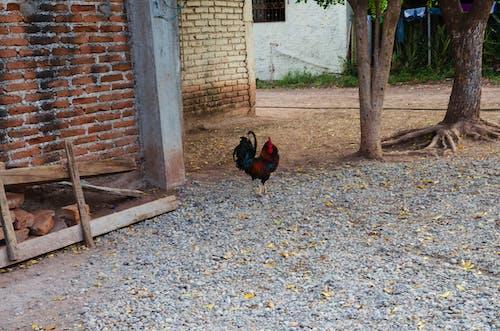 Free stock photo of cockerel, cockscomb, mothernature, ranch