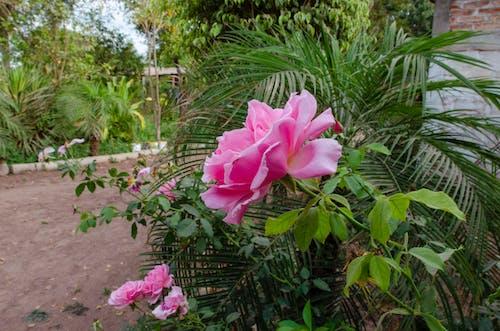꽃 나무, 꽃 피는 나무, 분홍 장미, 장미 향기의 무료 스톡 사진