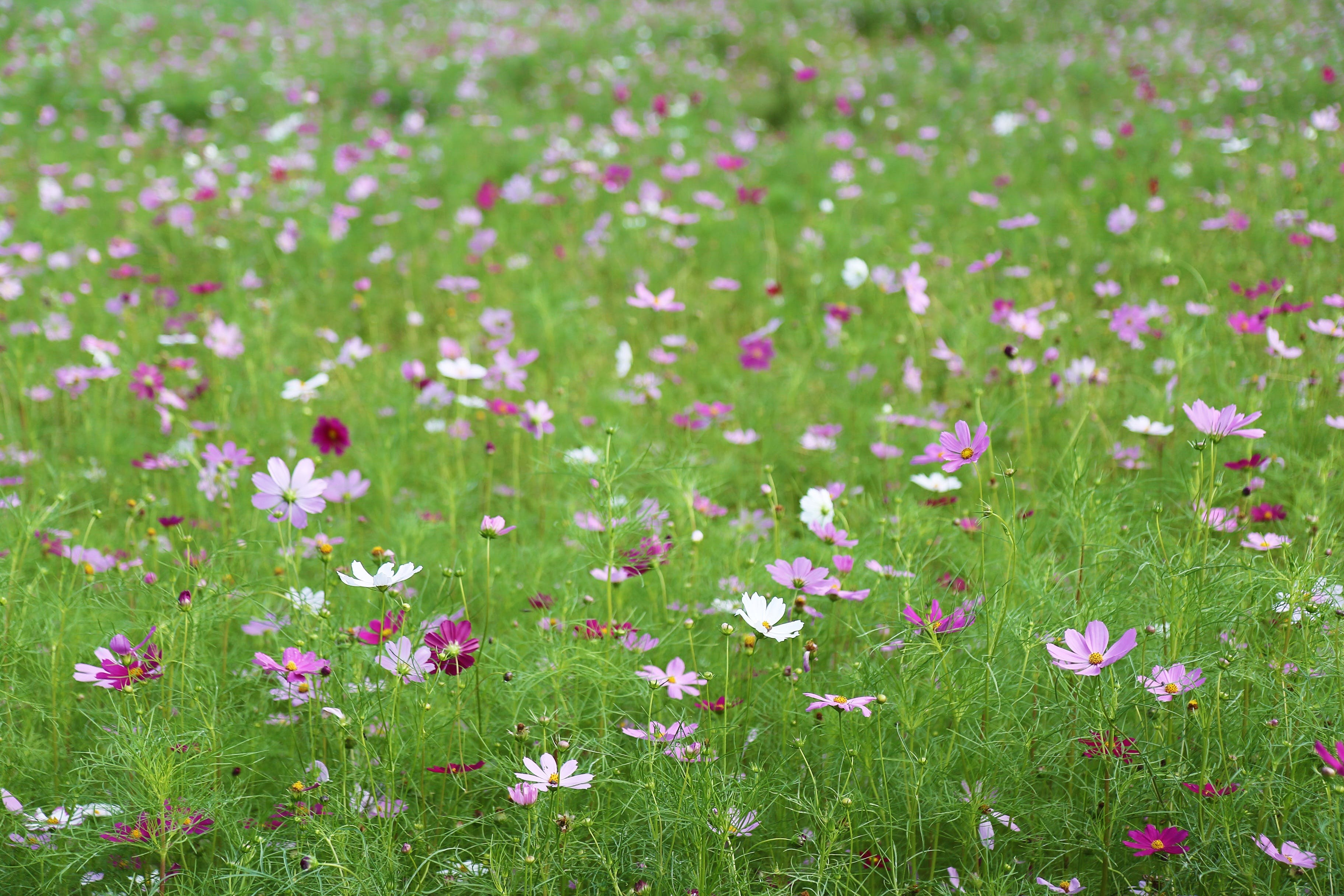 Close-up of Pink Flowers in Meadow