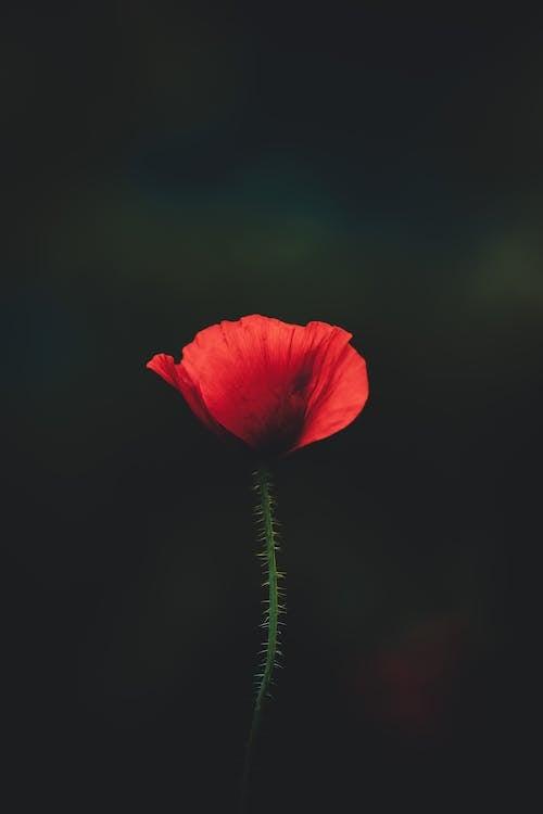 Fotos de stock gratuitas de amapola, flor, flora, floración
