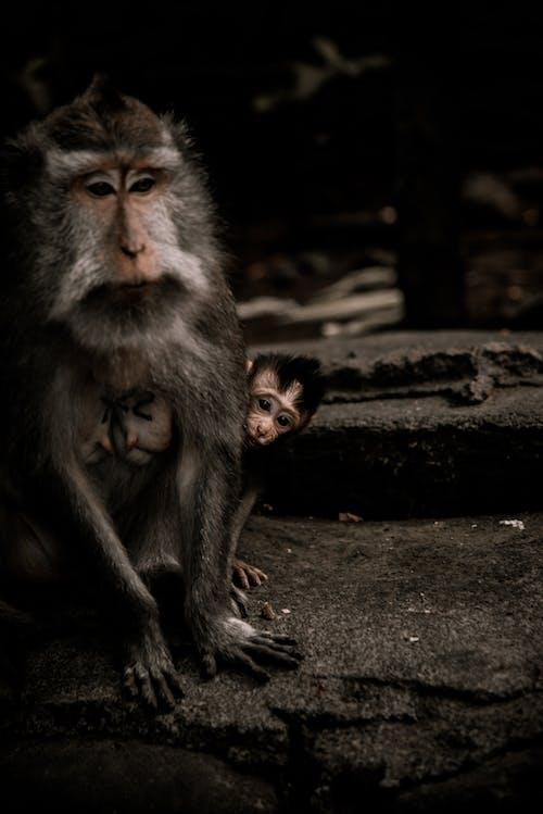 動物, 動物攝影, 可愛, 猴子 的 免费素材照片