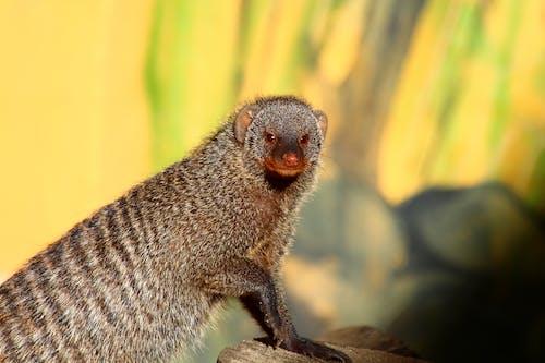 동물, 몽구스의 무료 스톡 사진