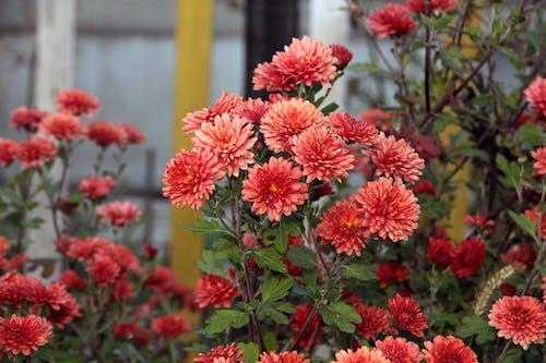 국화, 꽃, 대담한, 붉은 꽃의 무료 스톡 사진