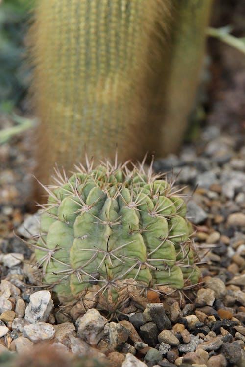 Foto d'estoc gratuïta de cactus, piant