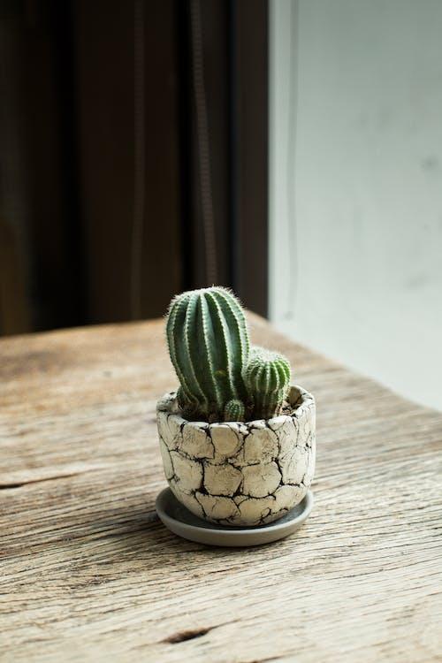 amb punxes, cactus, concentrar-se
