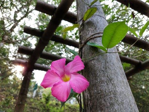 Gratis lagerfoto af blomst, enkeltblomst, lyserød blomst, scrawling
