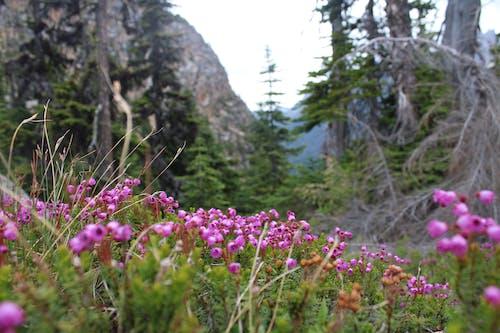 Free stock photo of beautiful flowers, mountain, pacific northwest, purple flowers