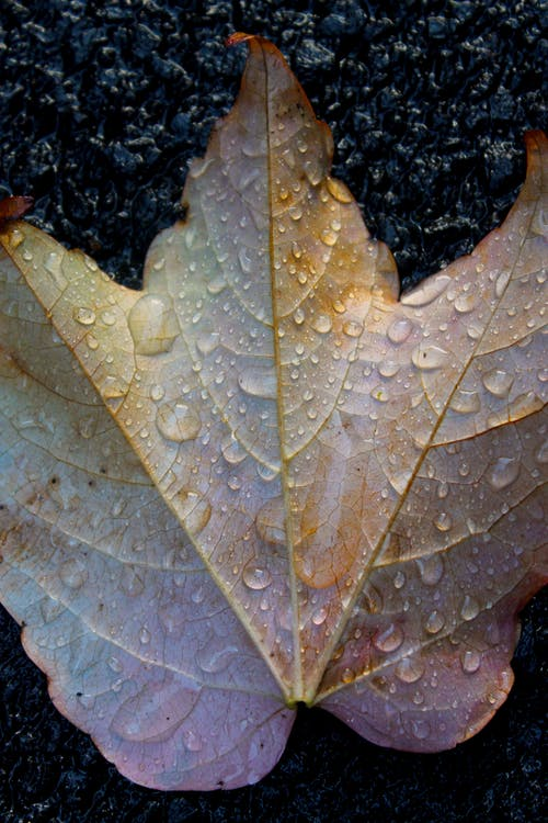 Free stock photo of autumn leaves, drops, leaf, leaves