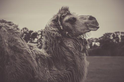 alan derinliği, bulanıklık, çiftlik hayvanları, deve içeren Ücretsiz stok fotoğraf