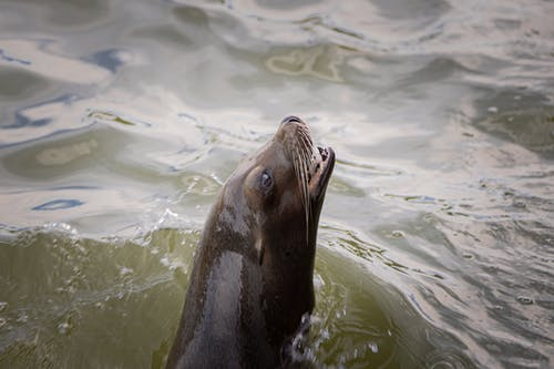 Sealion in Body of Water