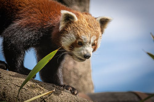 Close-Up Photo of Red Panda
