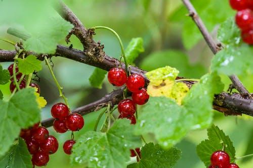 Foto stok gratis beri, beri merah, daun-daun hijau, kebun