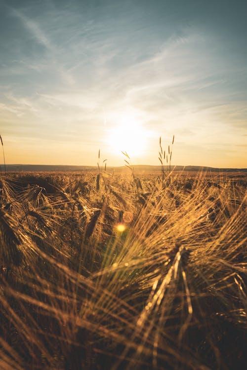 Imagine de stoc gratuită din amurg, apus, câmp, iarbă