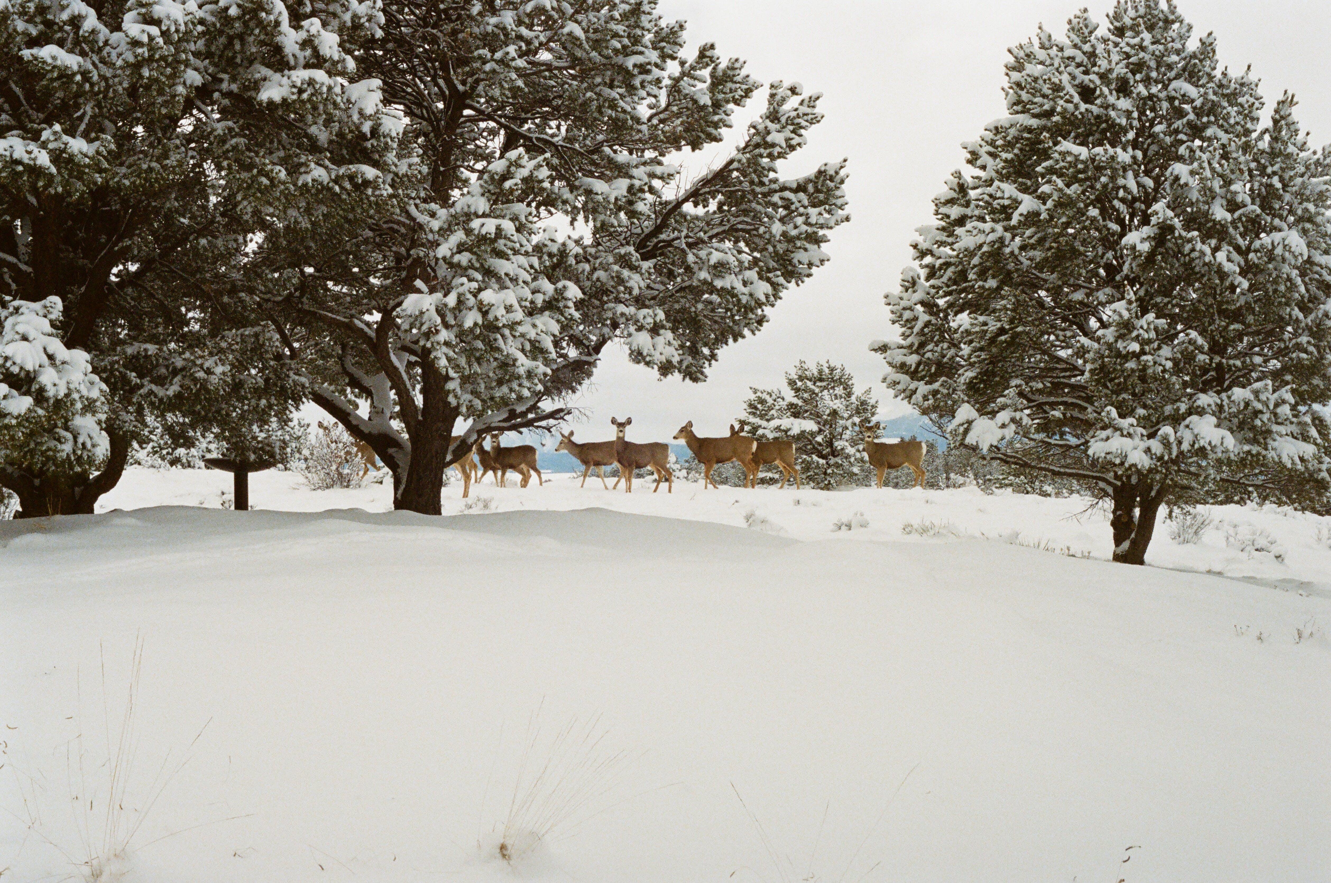 Reindeer Walking Beside Trees