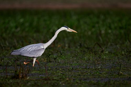 Photos gratuites de aigrette, animal, aviaire, faune
