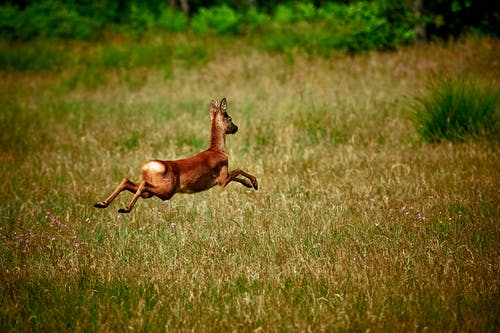 Brown Deer Jumping