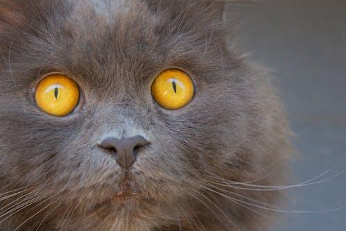 Foto d'estoc gratuïta de caçador, cara de gat, estoig de casa, gat