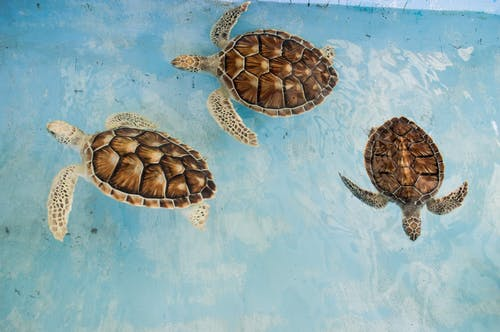 Three Brown Turtles