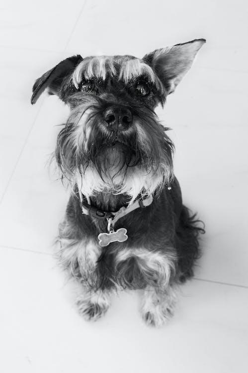 koira, mustavalkoinen, söpö