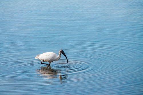 Free stock photo of bird, ibis, Kenya, reflection